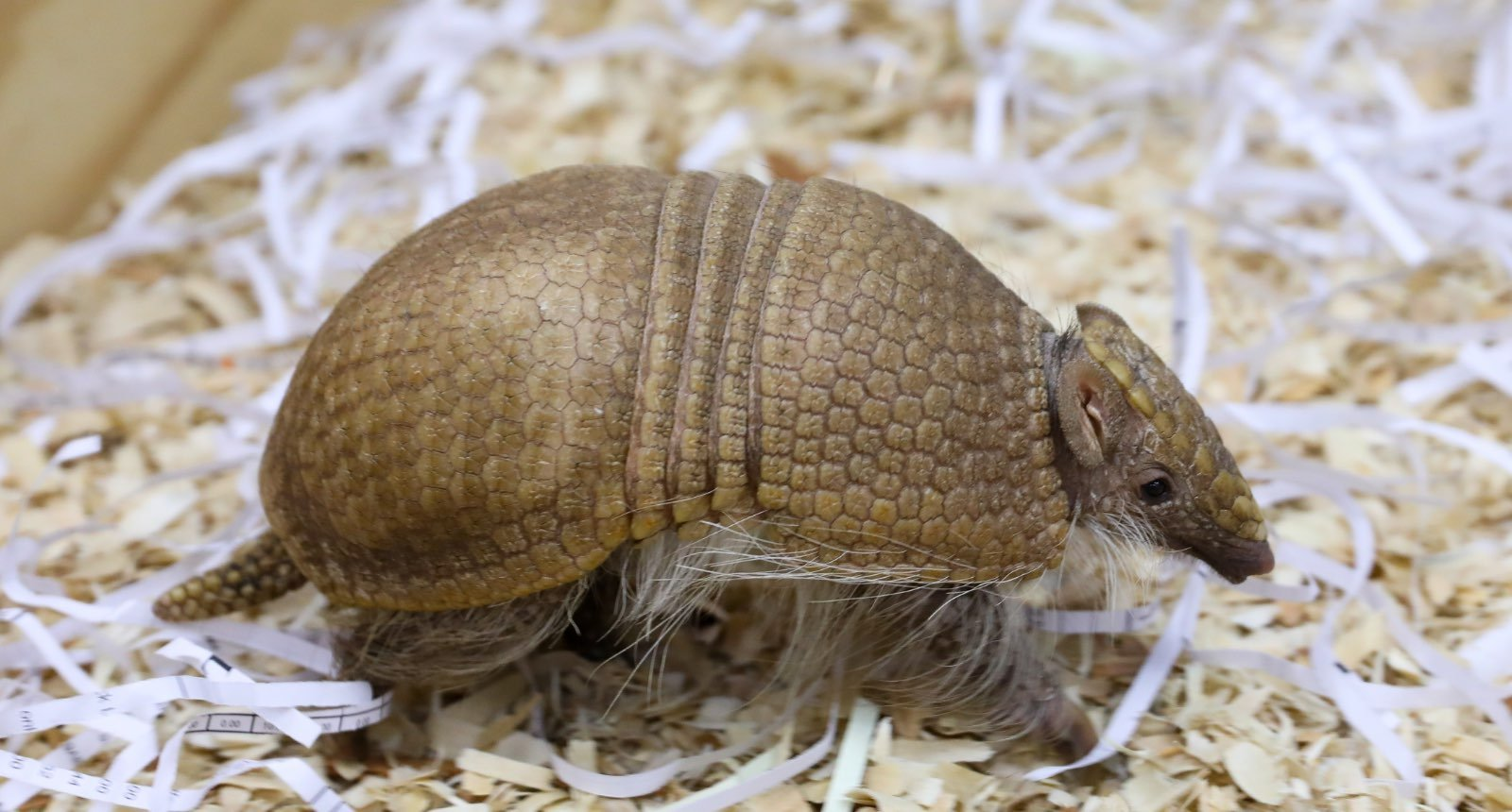 Southern three-banded armadillo - Tolypeutus matacas
