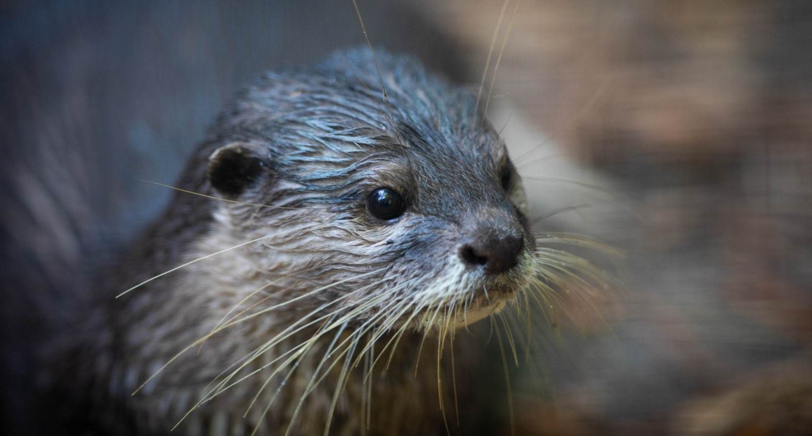 Asian small-clawed otter - Aonyx cinereus
