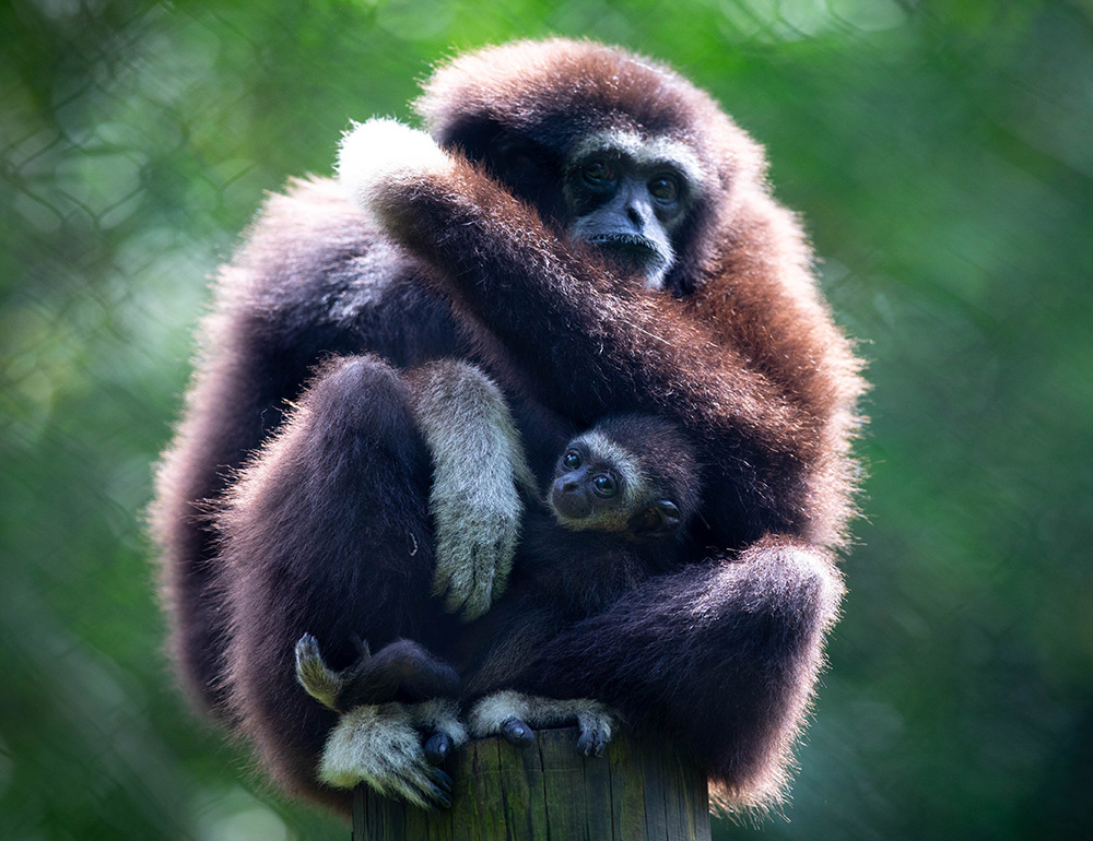 Gibbon and baby