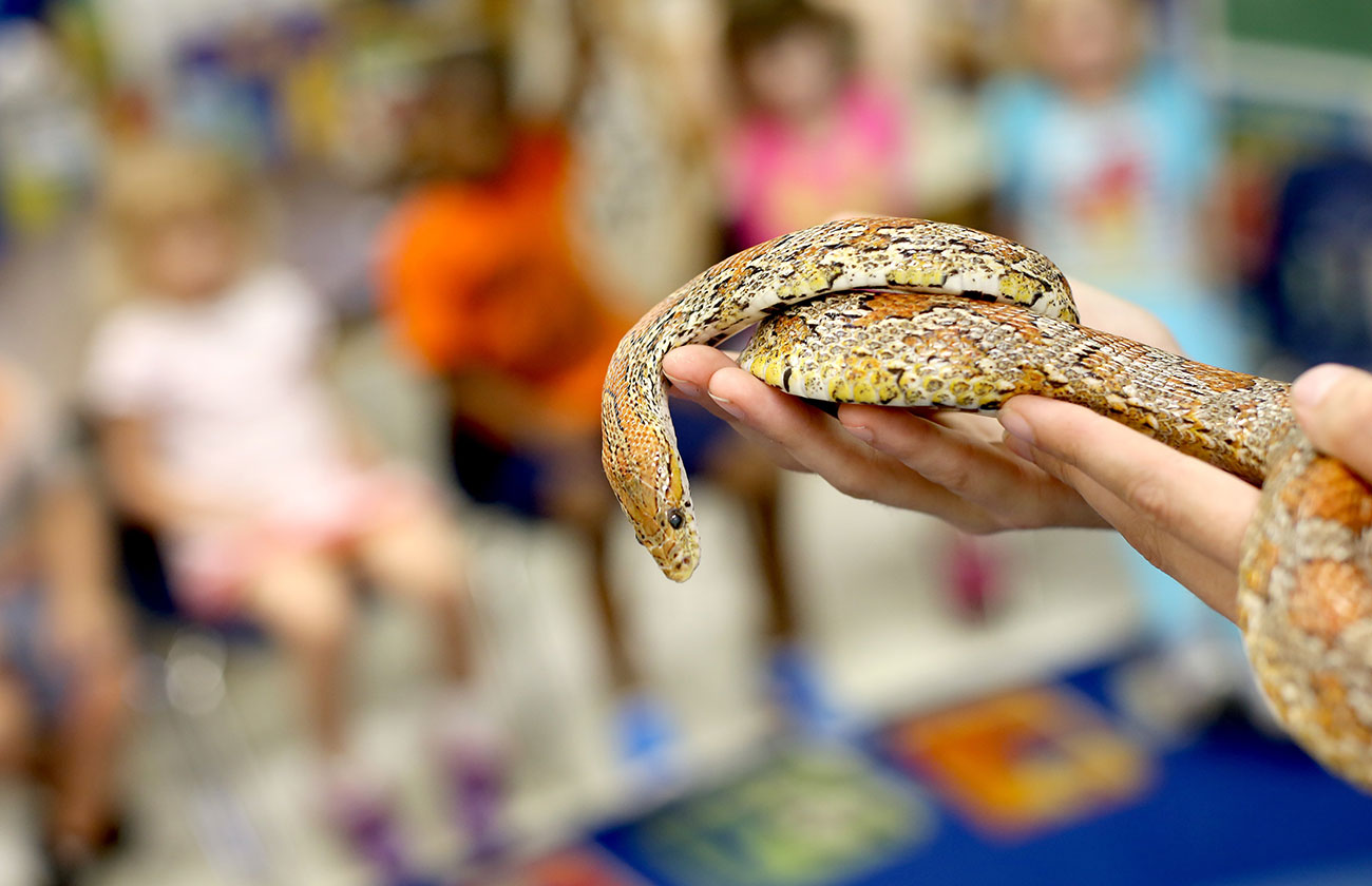 Corn snake in keepers hands
